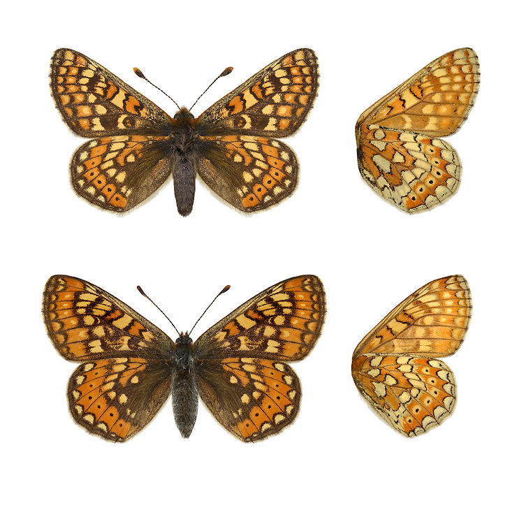 Marsh Fritillary - Euphydryas aurinia - male (top) - female (bottom). Wingspan 40-50mm. A rather lethargic butterfly, that is fond of basking in sunshine. Adult is beautifully marked with reddish-orange, buff and yellow; upperwings are more colourful than underwings. Flies May–June. Larva is black with tufts of spiny hairs; feeds on Devil's-bit Scabious and plantains. Widespread but very local on heaths and chalk grassland; mainly in southwest England and Wales, and southwest Scotland.