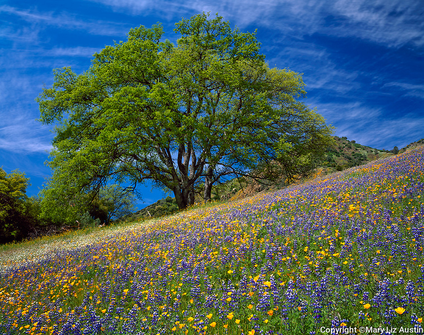 Sierra National Forest, CA<br /> Lupine and California poppies blooming under a large oak tree on the Moss Creek Trail near El Portal