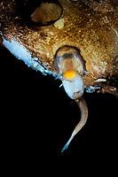 Male deep sea anglerfish attached to female, Toothed seadevil, Neoceratias spinifer, South Atlantic Ocean
