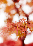 Beautiful artistic closeup of Japanese maple, Acer palmatum, red leaves glowing in autumn misty sunlight, abstract background, Kyoto, Japan