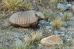 The Big Hairy Armadillo, Chaetophractus villosus, is the largest and most numerous of the armadillo species in South America.  Los Glaciares National Park, Argentina.  A UNESCO World Heritage Site in the Patagonia region of South America.  It is primarily nocturnal but does forage for worms and insects during the day when necessary.