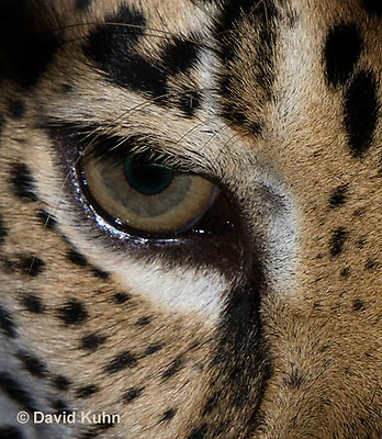 0522-1101  Jaguar, Belize, Panthera onca  © David Kuhn/Dwight Kuhn Photography