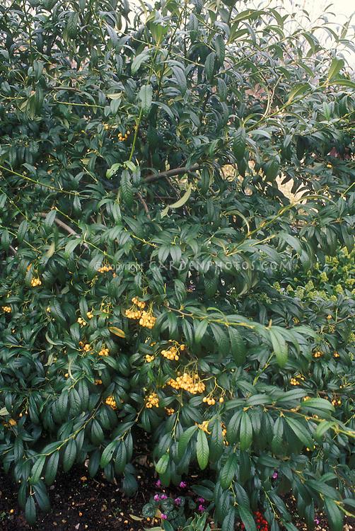 lonicera x purpusii winter honeysuckle plant flower. Black Bedroom Furniture Sets. Home Design Ideas