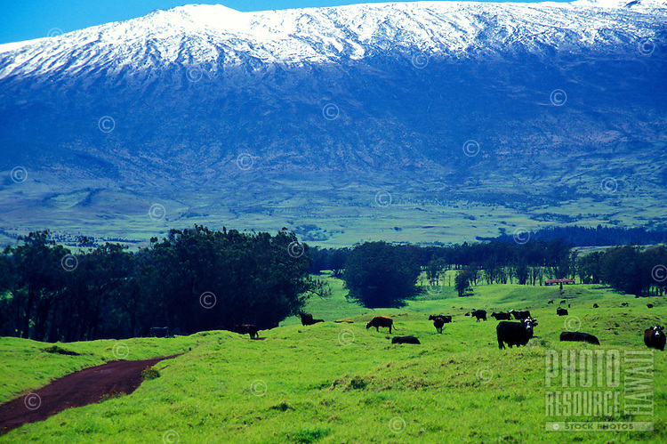 Snow capped Mauna Kea with the Parker Ranch cattle pasture in the foreground, Big Island