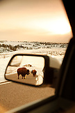 USA, Wyoming, Yellowstone National Park, bison stand in the road, Blacktail Plateau Drive