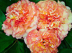 Vashon Island, WA<br /> Peach blossoms of a tree peony with double flower form.