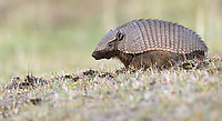 One of the mammals on my clients' wish list was the armadillo, and we finally had a good photo opportunity with one on our last afternoon.