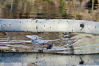 American Beaver (Castor canadensis) swimming by aspen log it has fallen.  Western U.S., May.