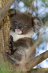 Koala (Phascolarctos cinereus) young individual, Kangaroo Island, Australia