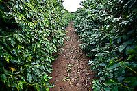 Paraguacu_MG, Brasil...Plantacao de cafe em Paraguacu...The coffee plantation in Paraguacu...Foto: JOAO MARCOS ROSA / NITRO