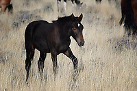 Wild Horse Colt, McCullough Peaks, Cody, Wyoming