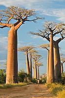 Man walking on the baobab avenue