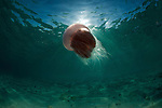 Large pink jellyfish in the shallows