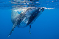 humpback whale, Megaptera novaeangliae, Vava'u, Tonga, Pacific Ocean