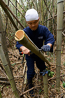 Keitarou Yokoyama cutting bamboo for bow making. Yokoyama Reimei Bowmakers, Miyakonojo, Miyazaki Prefecture, Japan, December 23, 2016. A handful of bowyers from the Kyushu city of Miyakonojo make over 90% of all the bows used in traditional Japanese archery. The bows are made from laminated bamboo and haze wood in process that consists of over 200 individual tasks. At over two meters from tip to tip the bows the longest used in the world.