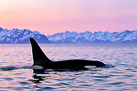 killer whale or orca, Orcinus orca, surfacing, at sunset, with snow covered mountains in background, Kenai Fjords National Park, Alaska, USA, Resurrection Bay, aka Blying Sound and Harding Gateway, Pacific Ocean