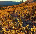 Rattlesnake Vineyards, Calistoga, Napa Valley, California