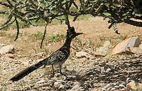 Churea. Correcaminos. <br /> Especies en cautiverio en el centro ecologico de Sonora