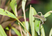 Equatorial anole, Anolis aequatorialis, approaches insects on a leaf at San Jorge de Milpe Eco-Lodge, Mindo, Ecuador