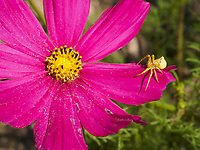 A crab spider in a cosmos flower is hunting honeybees.