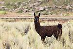 Llama (Lama glama) sub-adult, Ciudad de Piedra, Andes, western Bolivia