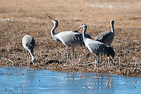 March 11, 2016 - Monte Vista, Colorado, U.S. - Sandhill Cranes feed on roots, tubers, and invertebrates in the wetlands of Southern Colorado's Monte Vista National Wildlife Refuge.<br /> <br /> Each year more than 20,000 Sandhill Cranes migrate through the wetlands of the San Luis Valley's Monte Vista National Wildlife Refuge, Monte Vista, Colorado.  The Rocky Mountain population of the Greater Sand Hill Cranes spends more time in the San Luis Valley than at either of their wintering or breeding grounds.  The peak springtime migration is mid-March.