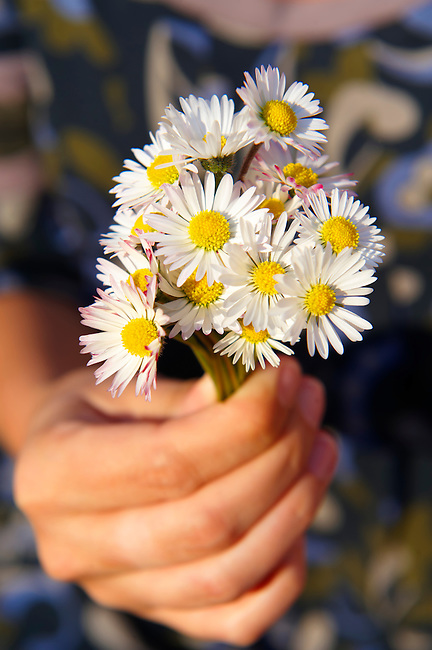 Bunch of daisies flowers being picked in the late spring