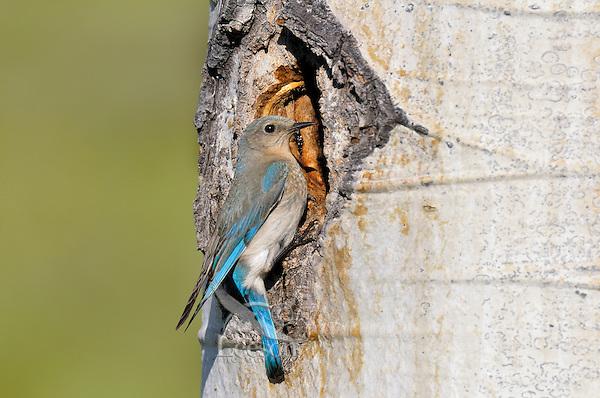 Female Mountain Bluebird (Sialia currucoides) at nest cavity in aspen tree.  Western U.S., June.
