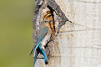 Female Mountain Bluebird (Sialia currucoides) at nest cavity in aspen tree.  Western U.S., June.