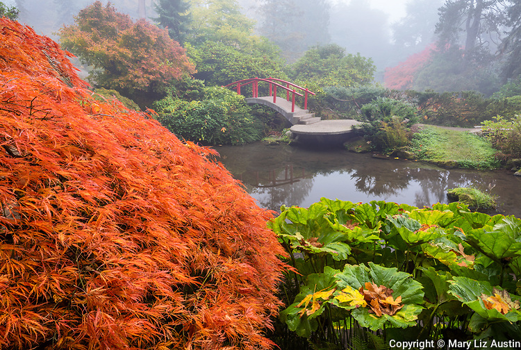 Kubota Garden, Seattle, WA: Moon Bridge in fog with fall colored branches of a lace-leafed Japanese maple