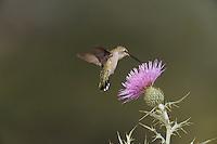 Black-chinned Hummingbird (Archilochus alexandri), female feeding on Texas thistle (Cirsium texanum), Chisos Basin, Chisos Mountains, Big Bend National Park, Chihuahuan Desert, West Texas, USA