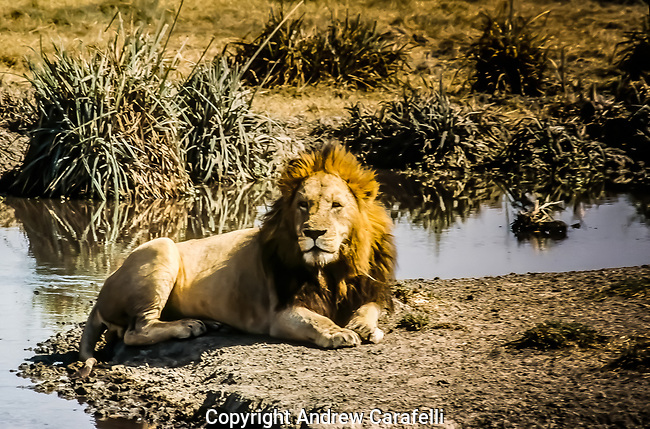 Large male African Lion reclines by a waterhole in Tanzania, Africa.