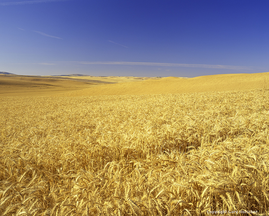 Wheat Field.  Palouse Region. Whitman Co. WA