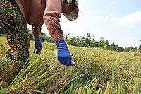 A woman is harvesting the rice in the Mekong delta, Can Tho province, Vietnam - 2010
