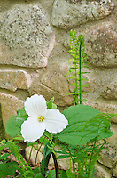 A Large-flowered Trillium (Trillium grandiflorum) grows beside a stone wall athe The Clearing Folk School in Door County, Wisconsin