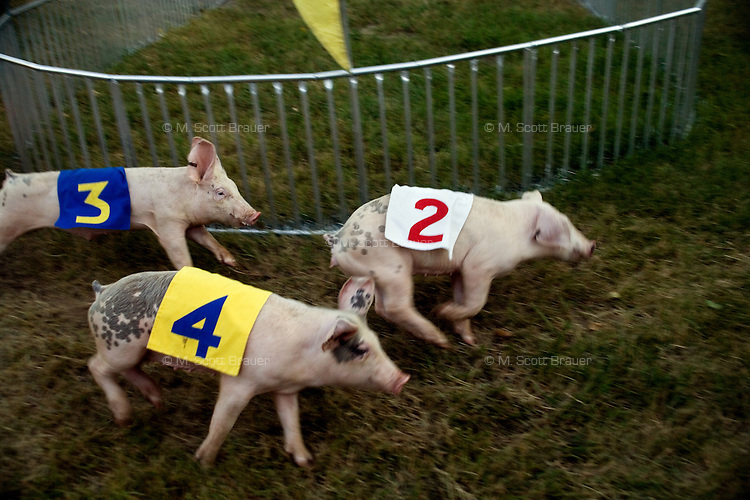Pigs race around a track towards a Fig Newton treat in the children's entertainment area of the Montana State Fair in Great Falls, Montana, USA.