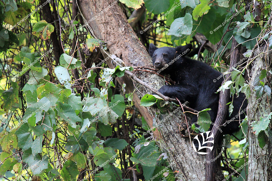 Stock photo: Black bear of smoky mountains clinging a tree branch.