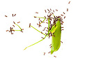 Ants dismembering a dead cricket. Photographed on a white background. Danum Valley, Sabah, Borneo. Sequence 2 of 6.