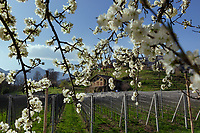 "Switzerland. Canton Ticino. Cagiallo. Spring time on Merlot Wineyard ""Ronco della Plana"" belonging to winemaker  Sacha Pelossi. Cagiallo is a village and and is part of the Capriasca municipality. 25.03.2019 © 2019 Didier Ruef"