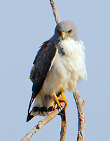 Adult white-tailed hawk