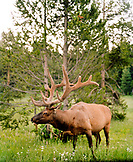 USA, Wyoming, elk standing in grass, Yellowstone National Park