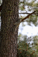 A fox squirrel climbing during the second round of the Augusta National Womans Amateur 2019, Champions Retreat, Augusta, Georgia, USA. 04/04/2019.<br /> Picture Fran Caffrey / Golffile.ie<br /> <br /> All photo usage must carry mandatory copyright credit (&copy; Golffile | Fran Caffrey)