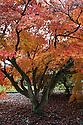 Autumn foliage of Acer palmatum var. heptalobum, early November.