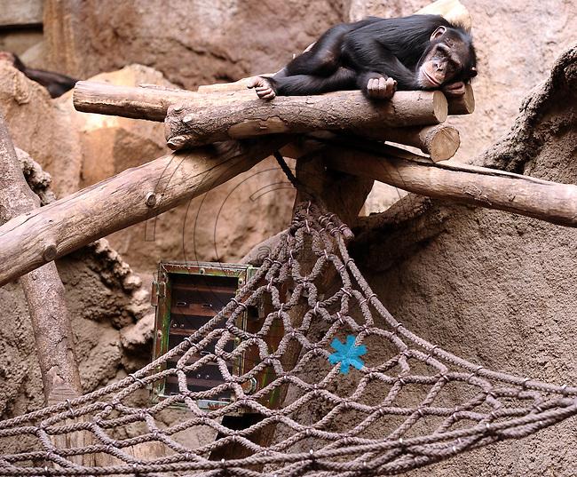 Pongoland Zoo Leipzig - MPI - im Bild: Schimpanse - Schimpansendame Alexandra nimmt ein Schläfchen.  Foto: Norman Rembarz ..
