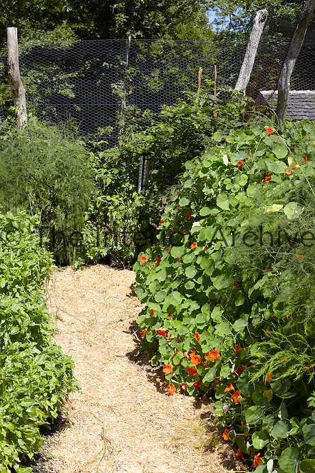 This part of the enclosed vegetable garden is a mass of nasturtiums