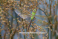 06361-00718 Common Green Darner Dragonfly (Anax junius) female teneral (newly emerged) in wetland, Marion Co., IL
