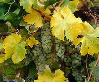 Clusters of CHARDONNAY WINE GRAPES ripen in the sun .