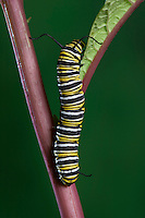 MONARCH BUTTERFLY life cycle..Fifth Instar on Joe-Pye Weed..North America. Danaus plexippus.