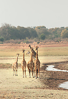 A tower of Giraffes, Luangwa River Valley. Zambia, Africa