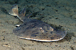 Narcine bancroftii, Lesser electric ray, Dominica